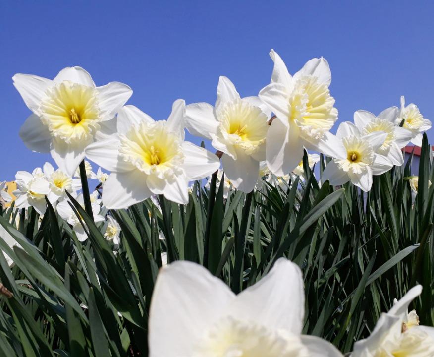 Osterglocken pflanzen und dekorieren – ein Ratgeber